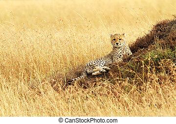 gepard, masai mara, junge