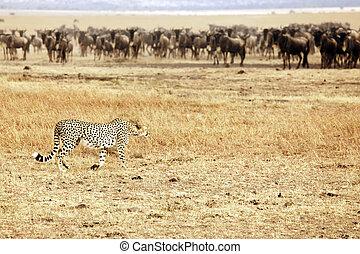 gepard, masai, wildebeest, mara, pirschen