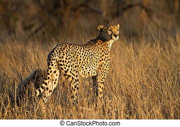 gepard, mutter