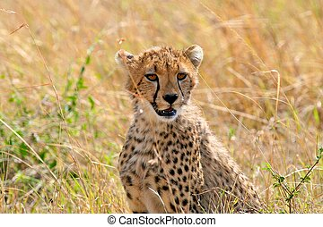 gepard, park