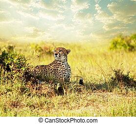 Gepard - cheetah