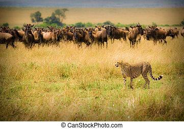 gepard, polowanie