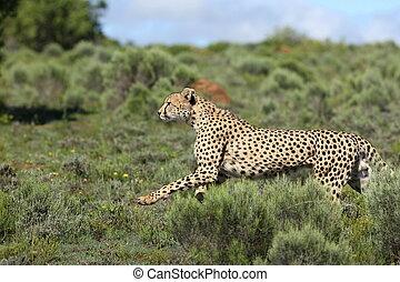 gepard, rennender , /, jagen