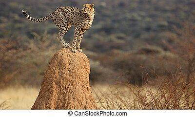 gepard, schmiere
