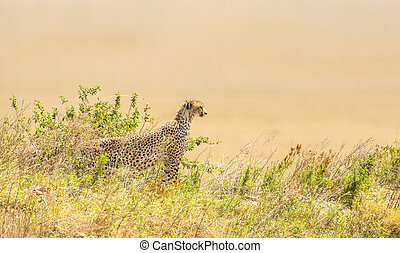 gepard, serengeti, hügel, afrikanisch