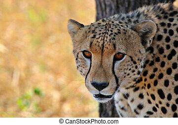 gepard, serengeti