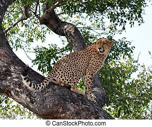 gepard, tierwelt, africa: