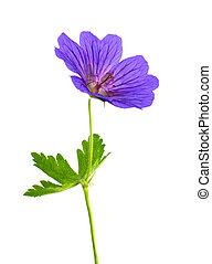 geranio, flor, aislado, blanco