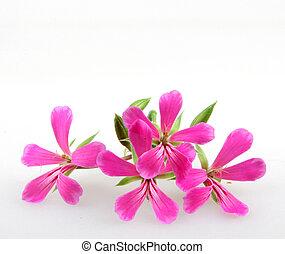 geranio, flores
