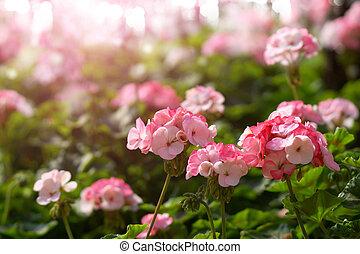 geranio, flores, jardín