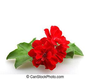 geranio, flores, pelargonium