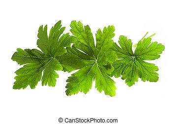 geranio, hojas