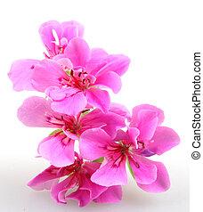 geranio, pelargonium