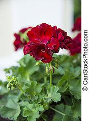 geranio, rojo, verano, jardín