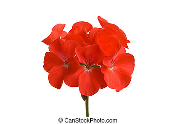 Red geranium flower on a white background (Isolated)
