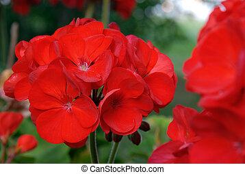 Geranium - A bright red geranium in the summer garden.