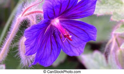 Geranium blossom video close up. Sharping, zooming, pistil...