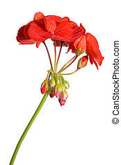 young geranium flower with buds isolated on white