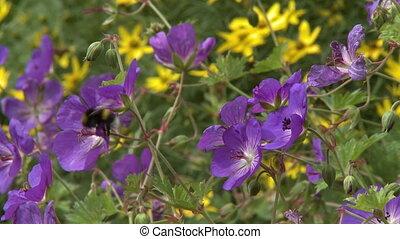 Geranium Cinereum And Echinacea Flowers - Handheld, medium...