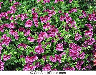 Geranium flower (cranesbills plantae magnoliophyta eudicots geraniales geraniaceae)