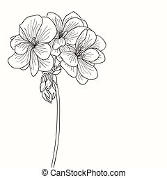Geranium flower drawing