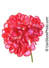 Geranium flower, garden decoration