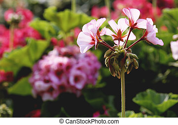 geranium flower in garden at winter