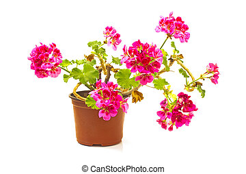 Geranium flower in pot isolated on white