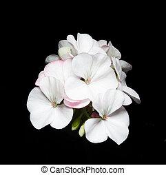 Geranium flower on black background.