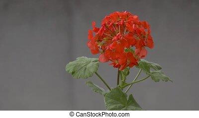 geranium flower swinging slow motion video - on red geranium...