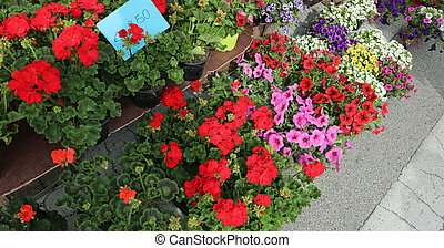 geranium flowers and petunias for sale in the flower market