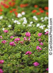 geranium, flowers.