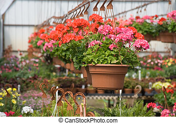 Geranium hanging baskets in professional greenhouse.
