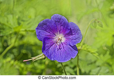 Geranium  Johnsons  Blue