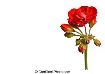 Botanical - Flower & Plants - red geranium inflorescence isolated on white background.