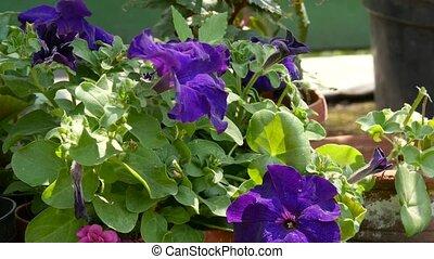 geranium pelargonium in greenhouse of botanical garden....