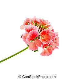 The inflorescence of pink geraniums isolated on white background