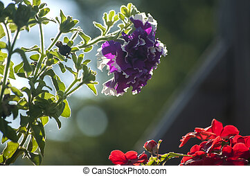 Geranium purple flower