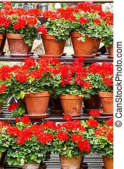 Red geranium flowers in a clay pots
