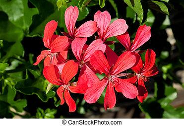 Geranium - This image shows a macro from a red geranium