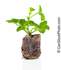 Geranium with roots, ready to plant