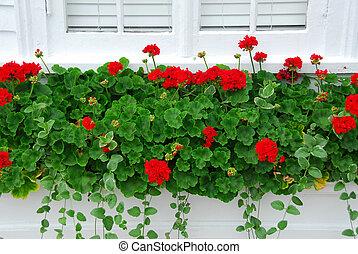 Geraniums on window - Red geraniums on windowsill