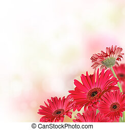 gerber, bloemen, met, kosteloos, ruimte, voor, tekst