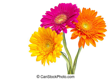 Gerber Daisy isolated on white background