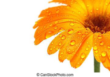 gerber daisy macro with droplets - macro of a gerber daisy...