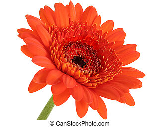 Gerber Daisy Orange - Deep Orange Gerber Daisy Focus In...