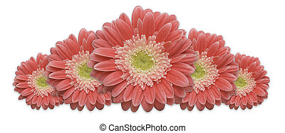 Gerber Daisy Row isolated on a white background.