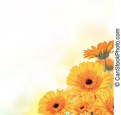 gerber, fleurs, à, gratuite, espace, pour, texte