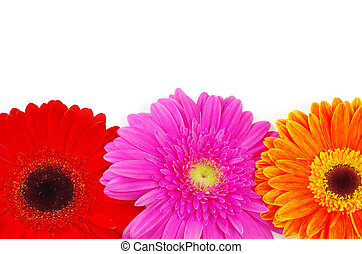 Gerber flower closeup on white background