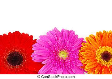 Gerber flower closeup on white background